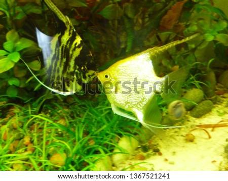 aquarium, freshwater fish #1367521241