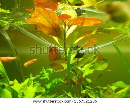 aquarium, freshwater fish #1367521286