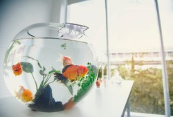 Aquarium goldfish placed on the table as a hobby.