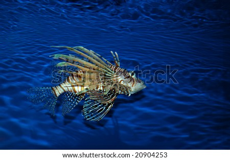 Aquarium - Oct. 12, 2008: Lion-fish are commonly known as firefish, scorpion-fish and lion-fish, the popular specimens are hearty and dramatic-looking. - stock photo