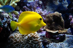 Aquarium - Oct. 12, 2008: Yellow Tang Fish in aquarium. Yellow Tangs will spend their day picking at rock-work and occasionally sand in search for hair algae to eat. This is the Hawaiian fish.