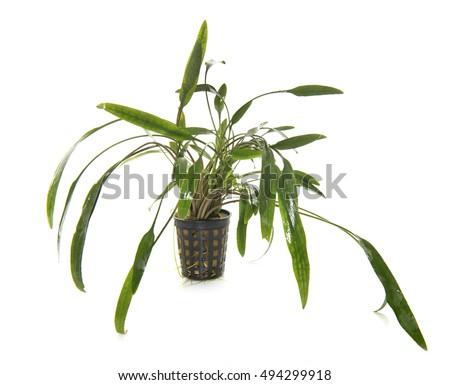 aquarium plant in front of white background
