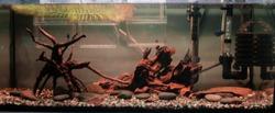 Aquarium tank with Betta Imbellis and Corydora Catfish.