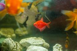 aquarium with fish, red tropical fish in aquarium, exotic fishes in aquarium