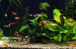 Aquarium with freshwater fishes and plants