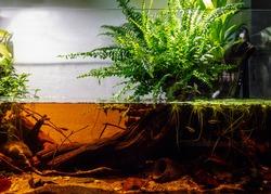 Aquascaping blackwater aquarium, amazon style. Optiwhite aquarium size 80x35x35 cm. Imitation of a forrest stream in Mato Gross do Sul, Brazil.