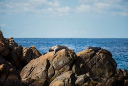 Aquatic mammals known as sea lions or seals chilling on the rocks on a blue ocean scape on Tinjana beach in Baja California