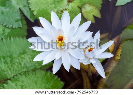 Aquatic plant lotus
