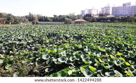 aquatic plant with large leaves, in the botanic garden campinas #1422494288