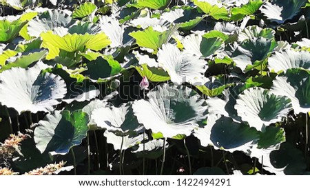 aquatic plant with large leaves, in the botanic garden campinas #1422494291