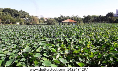 aquatic plant with large leaves, in the botanic garden campinas #1422494297