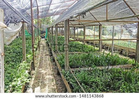 Aquatic plants : Aquatic ferns in nursery greenhouse in Asia. #1481143868
