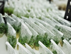 Aquatic plants product on a nutrient medium in plastic bag lined up in tissue culture room. Plant tissue culture is a techniques used to grow plant cells under sterile conditions.