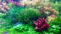 Aquatic plants tank. Beautiful aquarium with colorful aquatic plants in Dutch style aquascaping layout. Selective focus