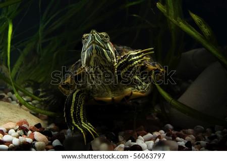 Aquatic Turtles In Their Natural Habitat Stock Photo 56063797 ...