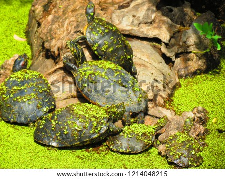 Aquatic turtles on the lakeside rocks. #1214048215