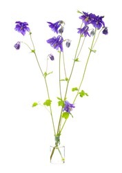 Aquilegia saximontana  ( dwarf blue columbine or alpine columbine)  in a glass vessel with water