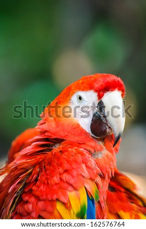 Ara, a Neotropical genus of macaws with eight extant species and at least two extinct species.