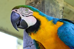 Ara ararauna also known as Blue and Yellow Macaw, Arara Canindé is slightly smaller than other macaws and has a very colorful plumage. It is originally from Brazil