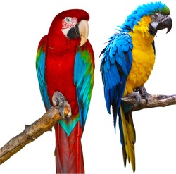 Ara Ararauna and Red and Green Macaw Isolated on White Background