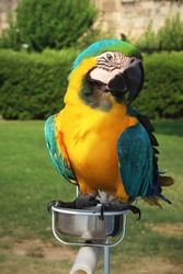 Ara ararauna parrot. The blue-and-yellow macaw (Ara ararauna), also known as the blue-and-gold macaw, portrait