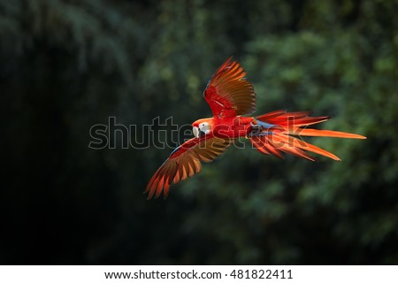 Ara macao, Scarlet Macaw, big, red colored, amazonian  parrot in flight, outstretched wings, long red tail against dark green forest. Manu National Park, Peru, Amazon basin.