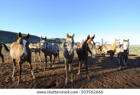 Arab brood mares on the Vermeulen Stud, Northern Cape, South Africa