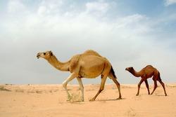 Arab camel in desert wildlife