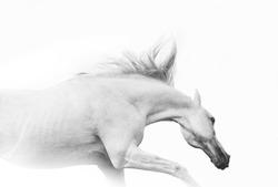 arab horse in high key
