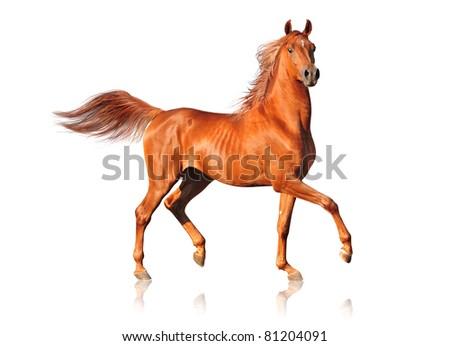 arab horse on white