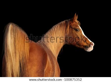 arab horse portrait on black