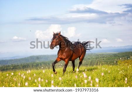 Arab racer runs on a green summer meadow on sunny day