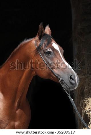 Arabian bay stallion