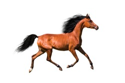 Arabian brown horse running trot with developing mane, isolated on white background