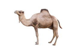 Arabian Camel, dromedary or arabian camel isolated on white background