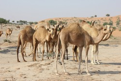 Arabian camels (dromedary, with single hump) roam freely as they graze on native, drought-resistant vegetation in perennially hot and arid desert sand dunes in Ras Al Khaimah, United Arab Emirates.