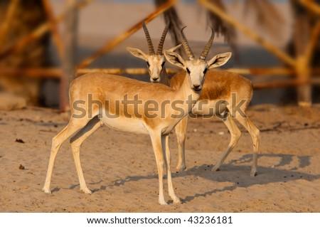 Arabian Gazelle in Abu Dhabi