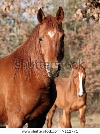 Arabian gelding with young colt in background.