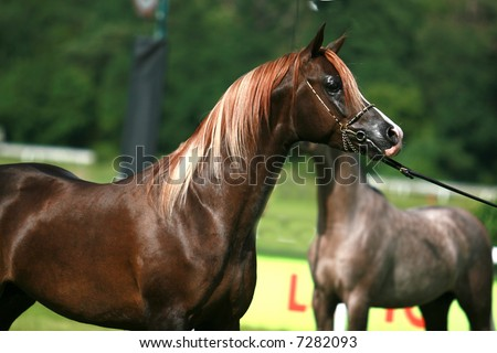 stock photo : arabian horse