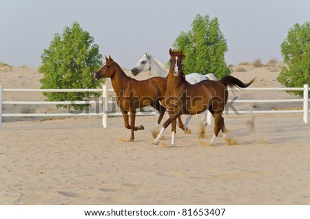 Arabian Horse in the Arabian Desert