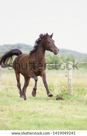 Arabian Horse on the green  #1419049241