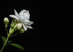 Arabian Jasmine Or Jasminum Sambac With Rain Drops On It
