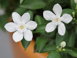Arabian jasmine, white angel flower, coral swirl, beautiful white little flower
