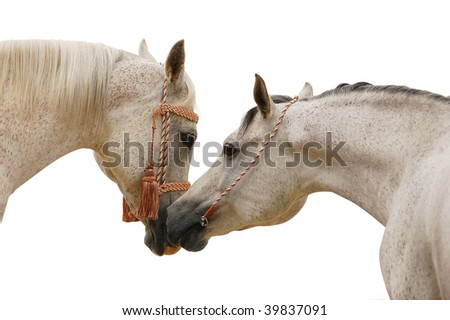 arabian mare and stallion isolated on white