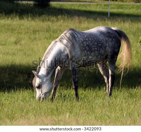 Arabian mare grazing