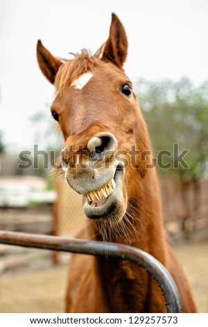 Arabian Mare showing teeth