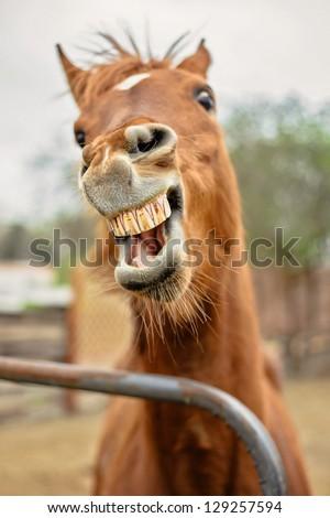 Arabian Mare showing teeth