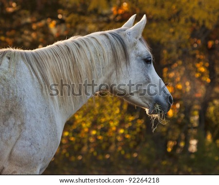 Arabian Mare with Fall Background - stock photo