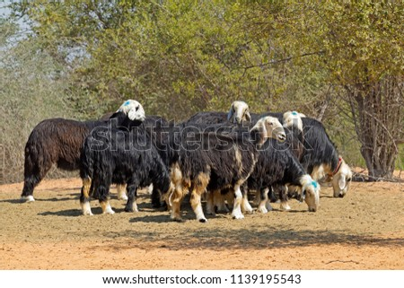 Arabian Nadji - domestic sheep breed of the Najd region of the Arabian Peninsula