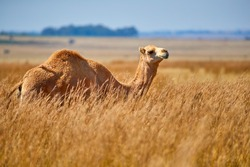Arabian one-humped camel, Camelus dromedarius in an african savanna. Arabian  camel standing in a field covered in high yellow grass against blue sky.  Africa.